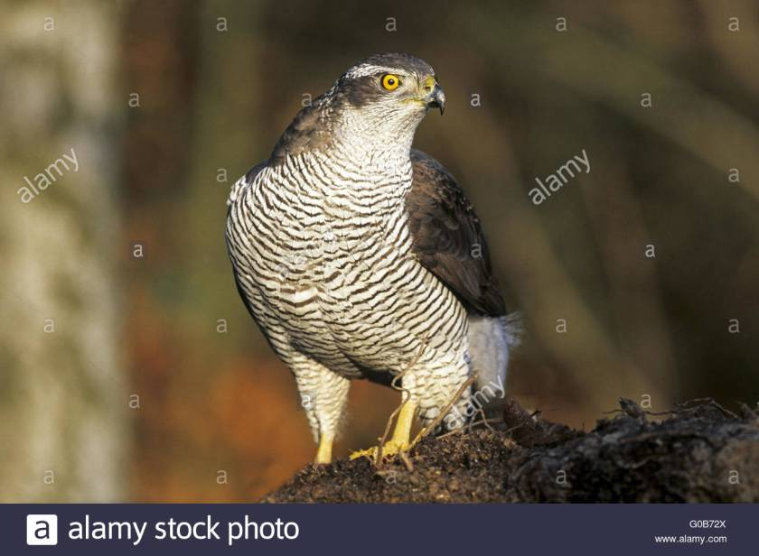 northern-goshawk-female-sitting-on-a-root-G0B72X